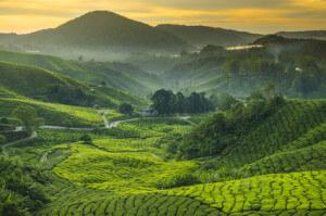 Tee Plantage Cameron highlands, Malaysia