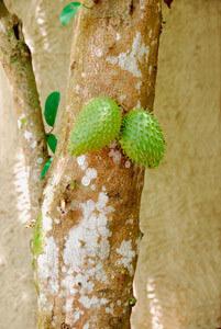 Graviola-Baum