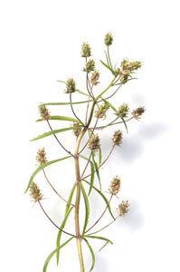 Flohsamenpflanze