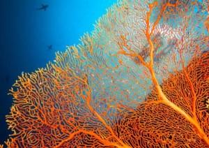 Sango-Koralle