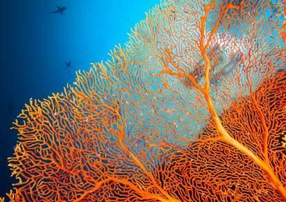 I❶I Sango Koralle – Jungbrunnen aus dem Meer