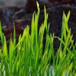 I❶I Bio-Weizengras – Erstaunliche Wirkung auf die Gesundheit