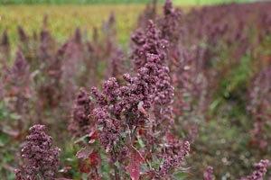 quinoa-pflanze