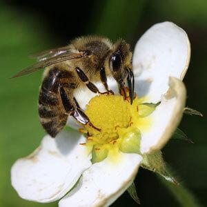 Biene-auf-Blüte