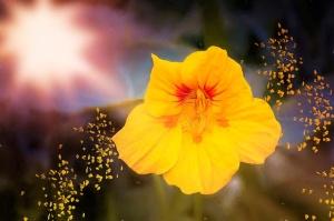 Kapuzinerkresse-Blüte