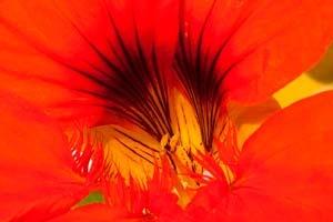 Kapuzinerkresse-Blütenkelch