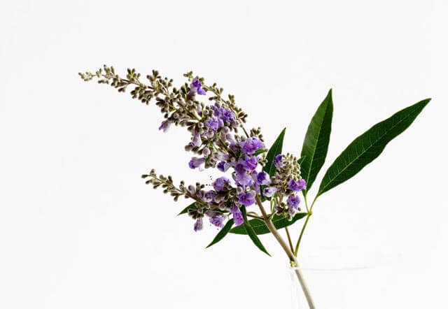 Mönchspfeffer: Die wirkungsvolle Pflanze für die Frau