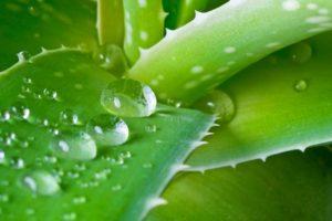 Kühlschrank Aufbau Und Wirkungsweise : Aloe vera vorteile und wirkungsweise heilungsberichte