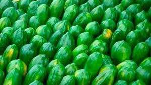 grüne-papaya