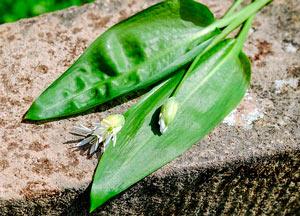 bärlauch-blüte-knospe-pflanze-wilder-knoblauch